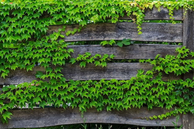 Old worn wooden fence boards, which are covered in a wild grapes.