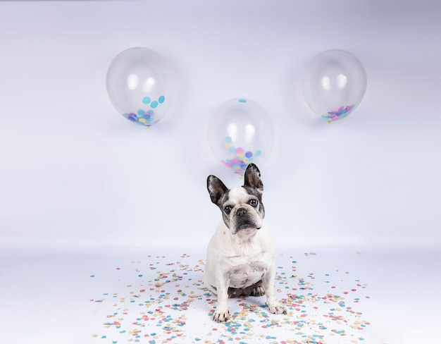 Older french bulldog celebrating birthday with balloons and confetti on w