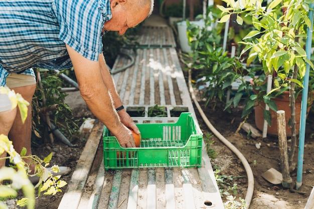収穫したてのトマトをプラスチックの箱に入れる老人。トマトを収穫している彼の個人的な庭の年配の男性の側面図。