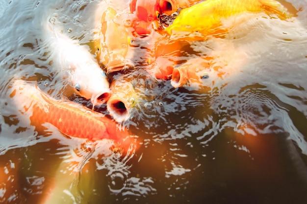 Oldfish는 주황색 물을 배경으로 수영장에서 수영합니다.