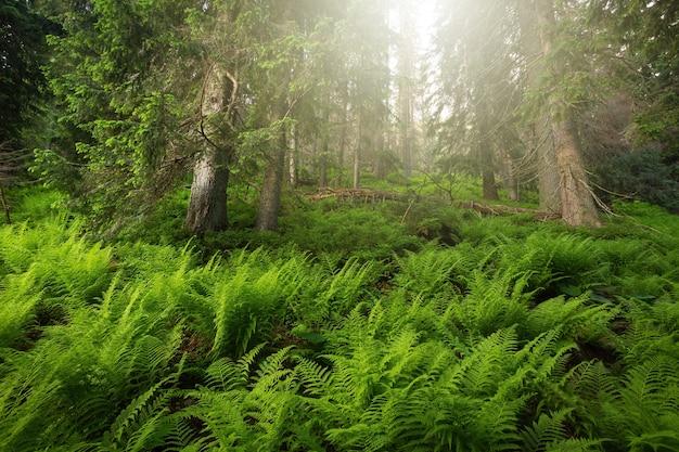Старый лес с растущим папоротником в день яркого солнца