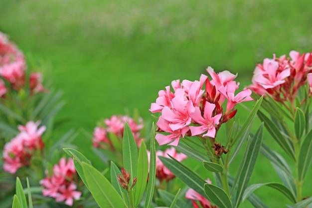 Oleander rose bay flower or nerium oleander l. in the garden