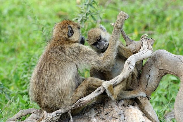 케냐의 마사이 마라 국립 공원에있는 올리브 개코 원숭이