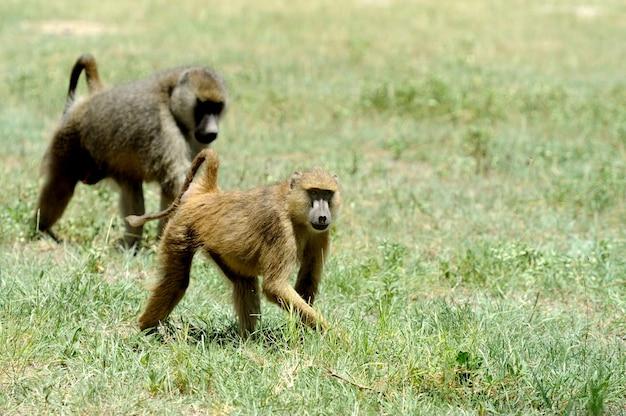 아프리카 국립 보호구의 올리브 개코 원숭이