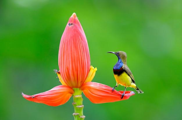 Olive-backed sunbird cinnyris jugularis beautiful male birds of thailand