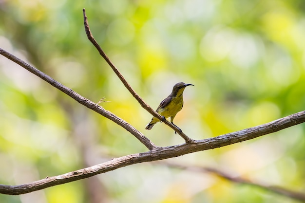 Olive-backed sunbird, yellow-bellied sunbird