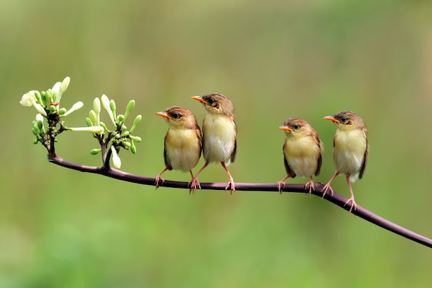 Olive-backed sunbirds feeding the child
