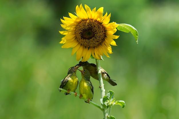 Солнечные птички с оливковой спинкой кормят ребенка