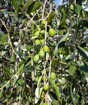 Olive branch with tuscan olives