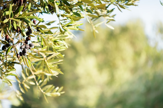 Olive bunch with ripe black olives on a olive plantation on a blurred . copy space