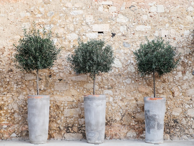Olive  decorative trees in the clay pots.rethymno,crete.
