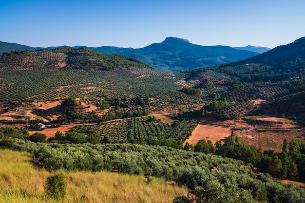 Olive fields between the mountains of jaen, surrounded by lush mountains in spain.