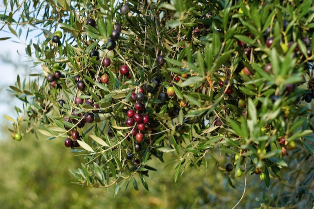 Olive fruits on a branch tree