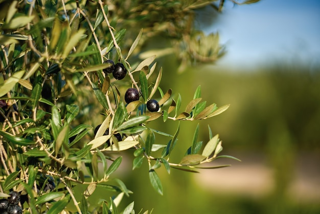 Olive fruits on a branch