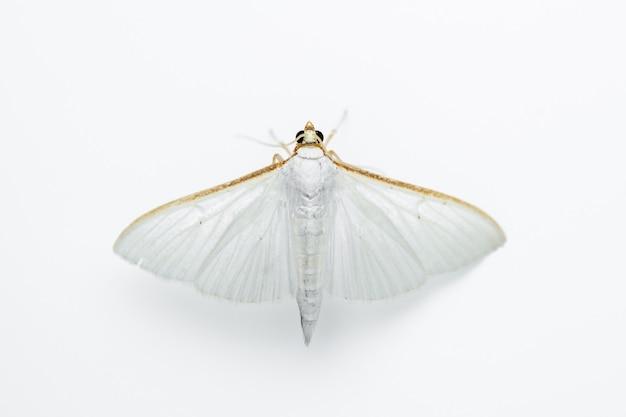 올리브잎나방(palpita unionalis)