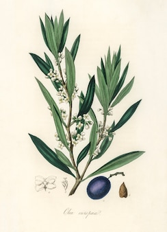 Olive (olea europaea) illustration from medical botany (1836)