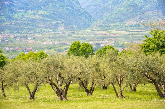 Olive plantation in greece