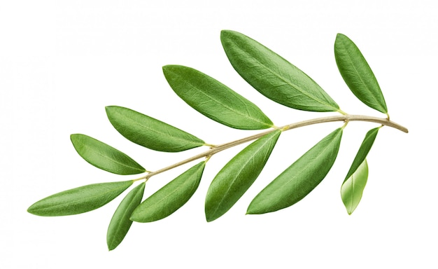 Olive tree branch with green leaves isolated