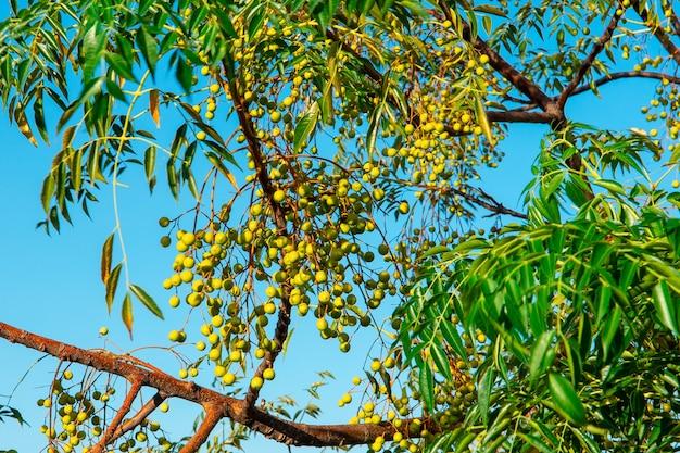 수확의 전체 올리브 나무 가지