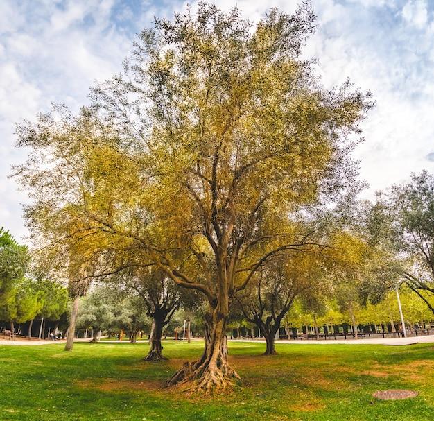 曇りの秋の日の公園のオリーブの木。