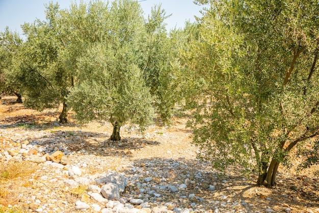 アンタルヤトルコのカライン洞窟近くの庭園のオリーブの木