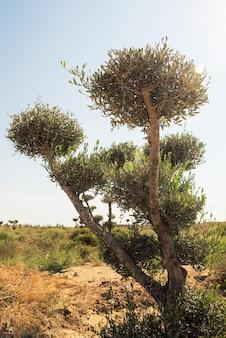 Оливковое дерево на плантации