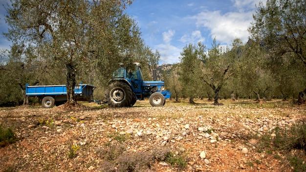 올리브 나무 농장. 돌리에 의해 올리브 나무 가지 촬영. 분기에 올리브. 나무에 잘 익은 올리브.