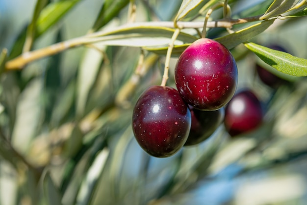 Olive tree with fruit, harvest for oil