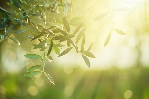 Оливковое дерево с листьями, естественный солнечный фон сельскохозяйственных продуктов