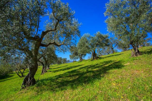 Оливковые деревья в ряду. плантация в горах, италия