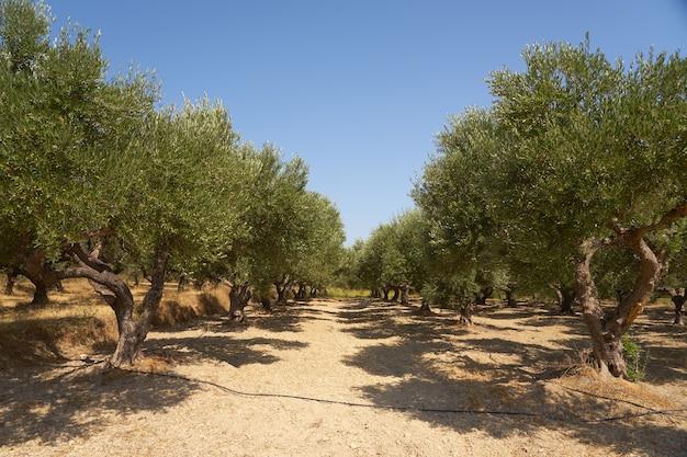 Оливковые деревья в оливковой роще на крите.