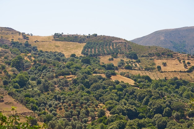 Оливковые деревья в оливковой роще в горах на крите.