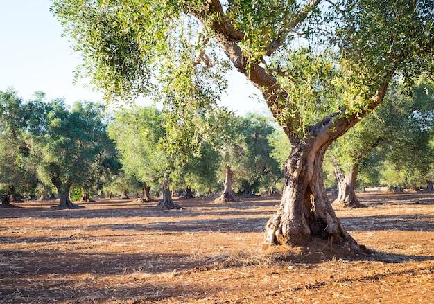 Оливковые деревья в регионе апулия, южная италия - возрастом более 200 лет. летний сезон, закат естественный свет.