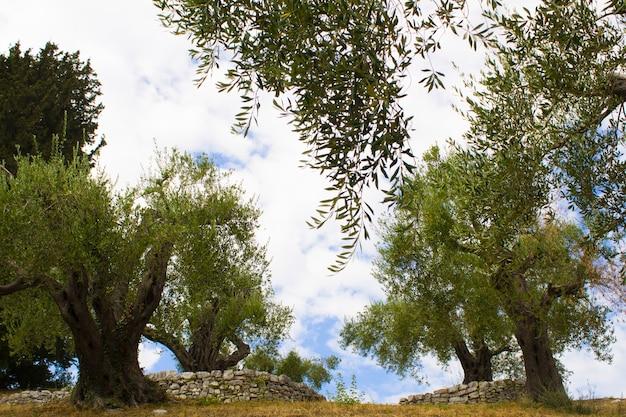 Оливковые деревья в саду. крупный план. греция.