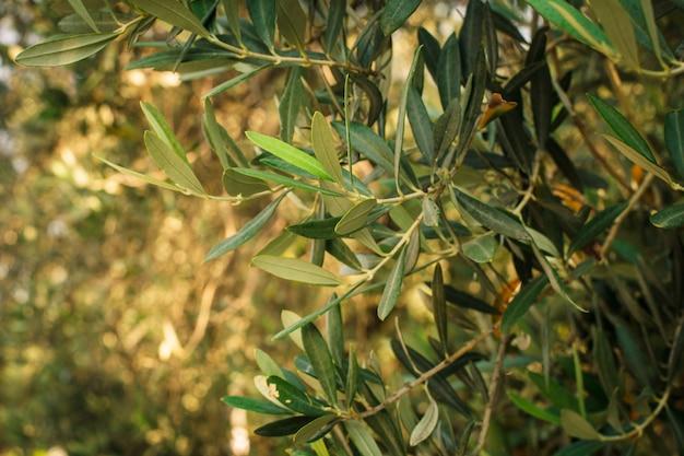 オリーブの木。地中海式庭園、枝をクローズアップ