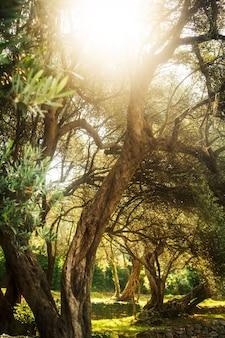 オリーブの木。朝の地中海庭園