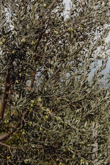 Olive trees in nature