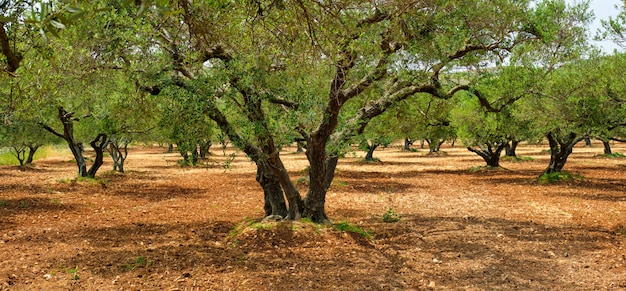Olive trees olea europaea in crete, greece for olive oil production
