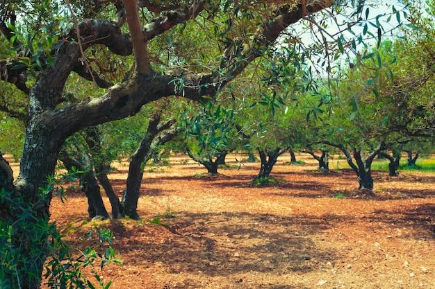 Olive trees (olea europaea) grove in crete, greece for olive oil production.