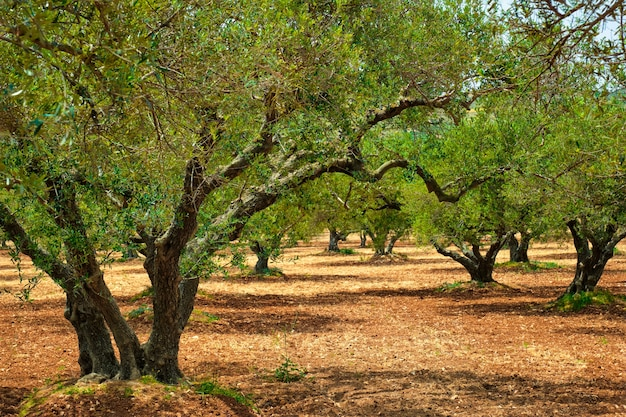 Olive trees (olea europaea) grove in crete, greece for olive oil production.