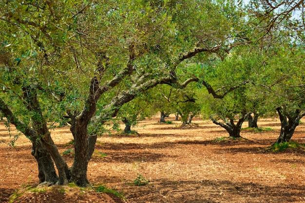 Роща оливковых деревьев (olea europaea) на крите, греция, для производства оливкового масла.