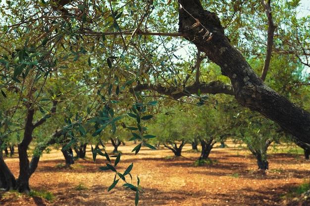 올리브 오일 생산을위한 크레타 그리스의 올리브 나무 olea europaea