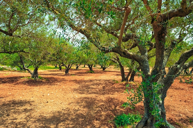 Оливковые деревья olea europaea на крите греция для производства оливкового масла