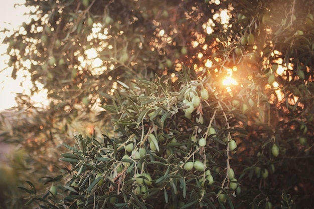 Оливковые деревья на закате. солнечные лучи