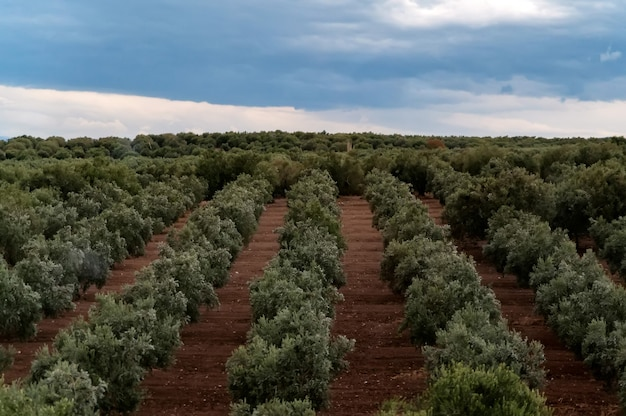 Olive trees in a row. plantation and cloudy sky. selective focus