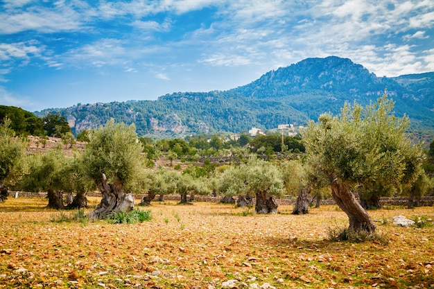 Olive trees valley in mallorca