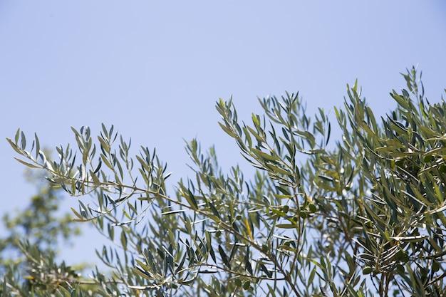 올리브 나무 무료 사진