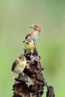 Olivebacked sunbirds feeding the child cinnyris jugularis
