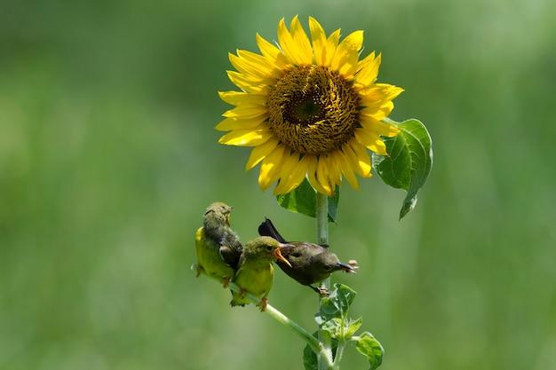 아이에게 Cinnyris Jugularis에게 먹이를 주는 Olivebacked Sunbirds 프리미엄 사진