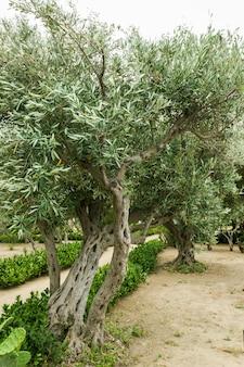 여름 날에 올리브와 올리브 나무.